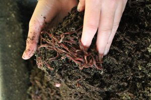 Buy 1,000 Count Red Wiggler Live Composting Worms