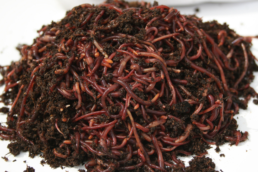 Red Wigglers For Sale Cheap