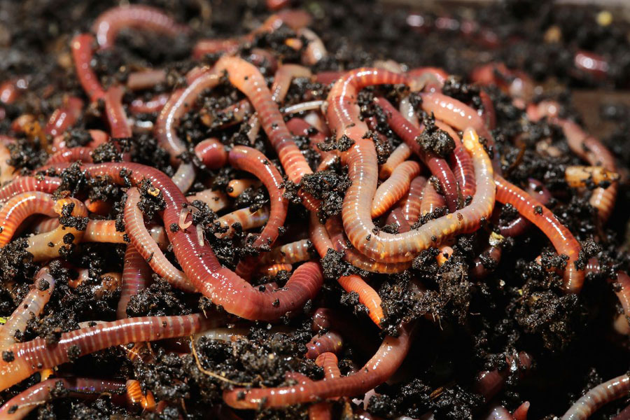 How To Distinguish Red Worms