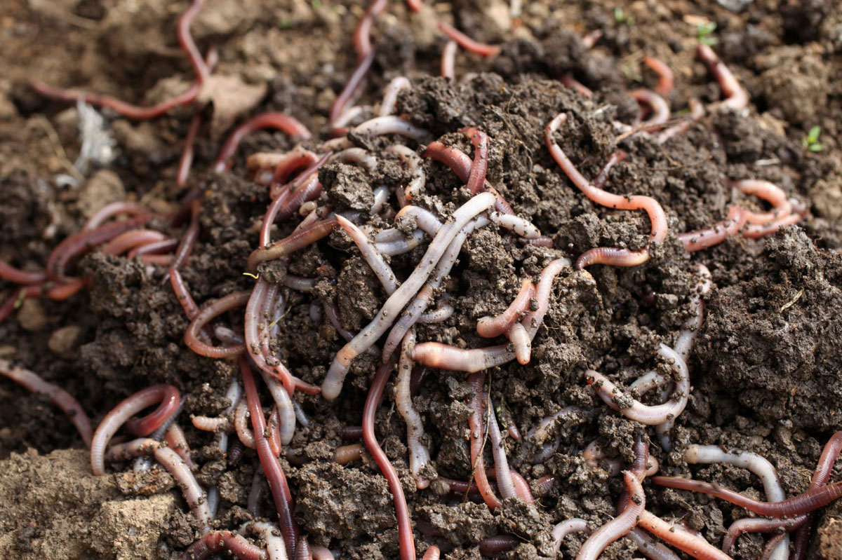 Using Red Worms As Organic Chicken Feed